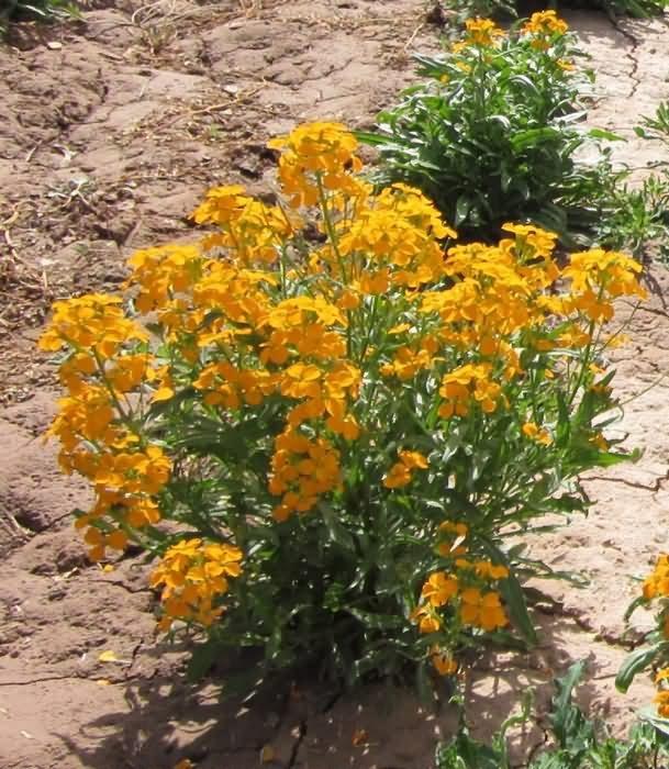 七里黄花卉种子
