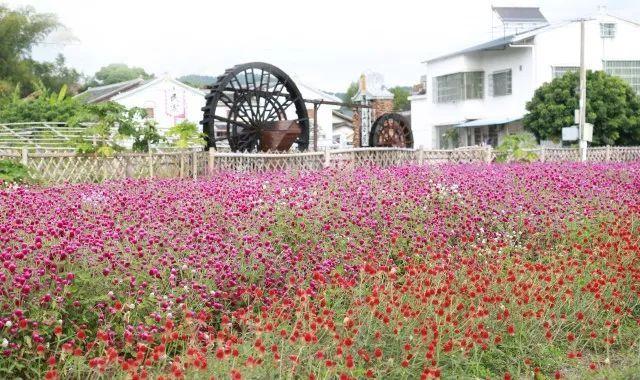 千日红花卉种子