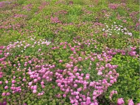 屈曲花花卉种子
