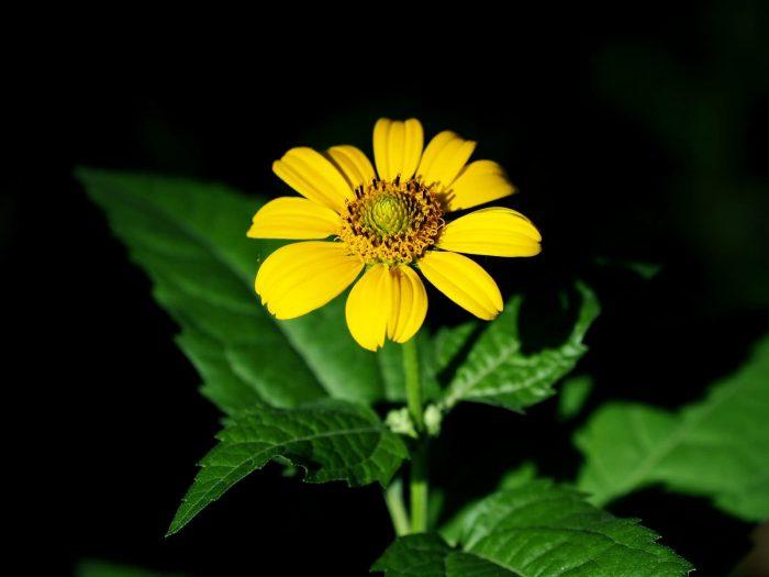 日光菊(赛菊芋)花卉种子