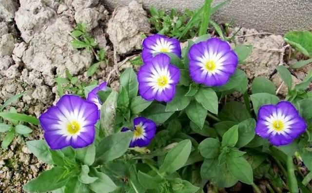 三色旋花花卉种子