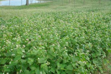 山荞麦花卉种子