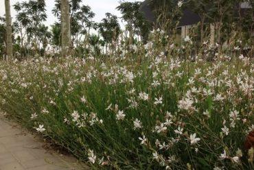山桃草花卉种子