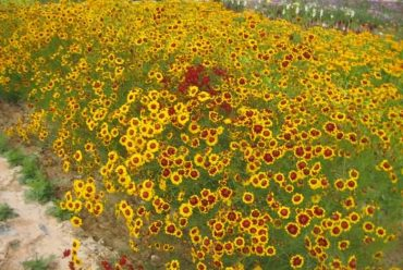 蛇目菊花卉种子