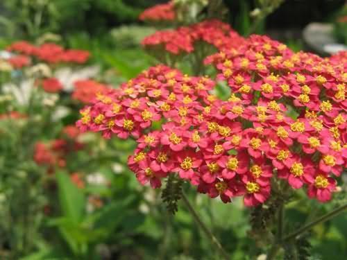 蓍草花卉种子