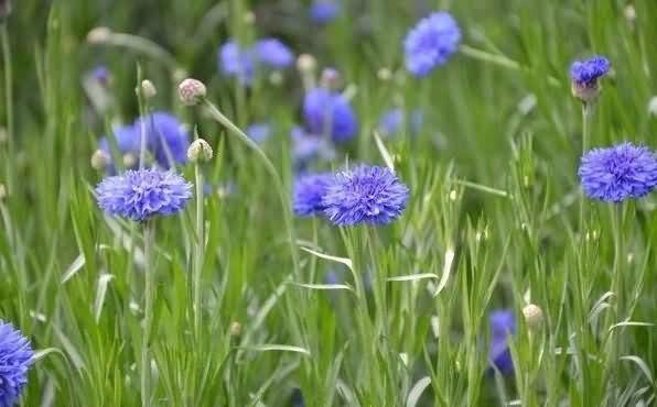 矢车菊花卉种子