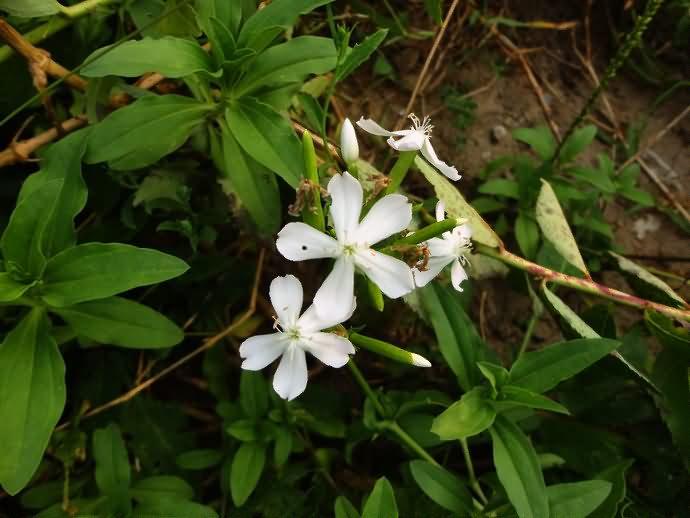 石碱花花卉种子