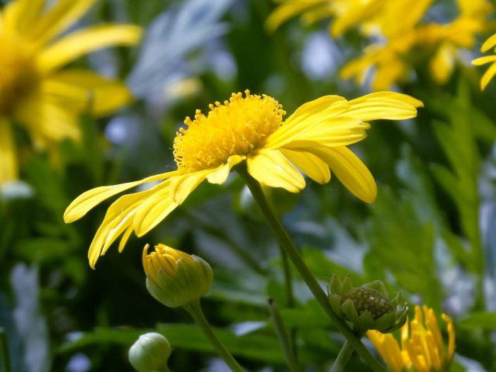 茼蒿菊花卉种子