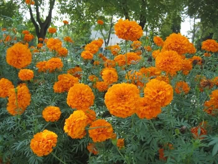 万寿菊花卉种子