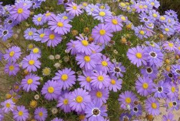五色菊花卉种子
