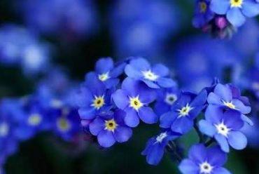 勿忘草花卉种子
