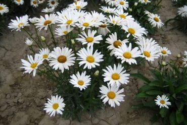 西洋滨菊花卉种子