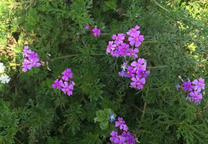 细叶美女樱花卉种子
