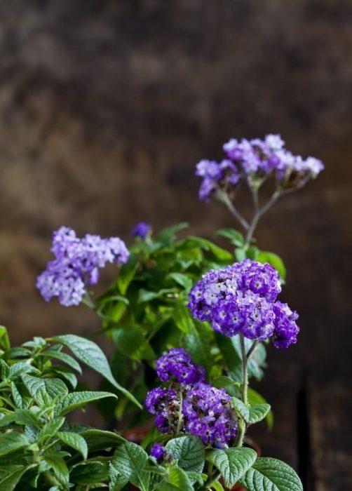香水草花卉种子