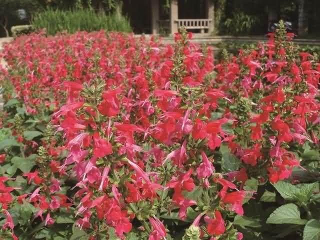 朱唇花种子