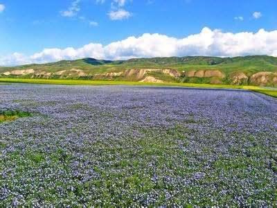 蓝亚麻花卉种子