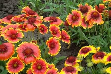 宿根天人菊花卉种子