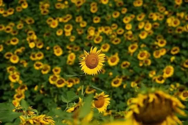 向日葵花卉种子
