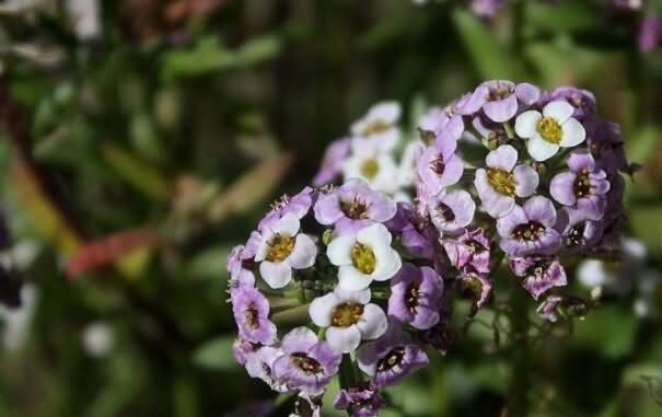 香雪球花卉种子