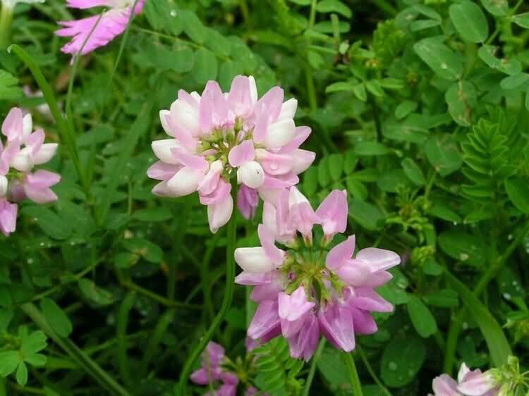 小冠花花卉种子