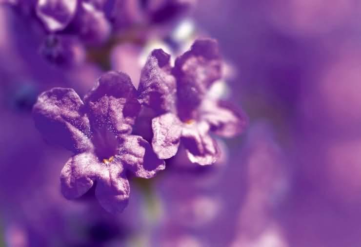 薰衣草花卉种子