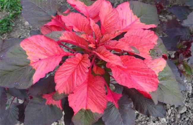 雁来红花卉种子