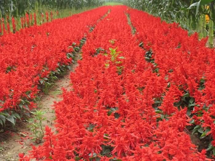 一串红花卉种子