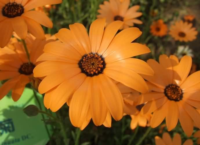 异果菊花卉种子