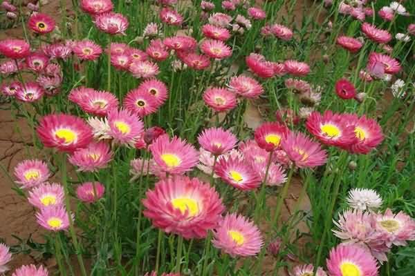 永生菊花卉种子