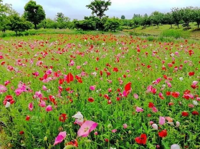 虞美人花卉种子