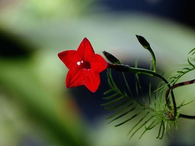 羽叶茑萝花卉种子