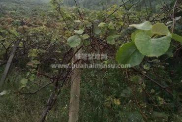 百亩蒲江猕猴桃苗6年低价出售,已挂果可做水果采摘营地